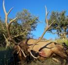 New Mexico Elk