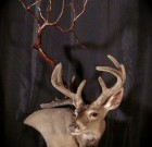 114 Velvet Coues taxidermy