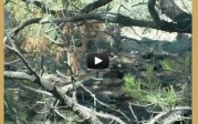 Video –  Coues whitetail fawns at 5 yards!
