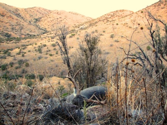 Coues 2012