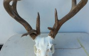 Coues WhiteTail deer 130 inches