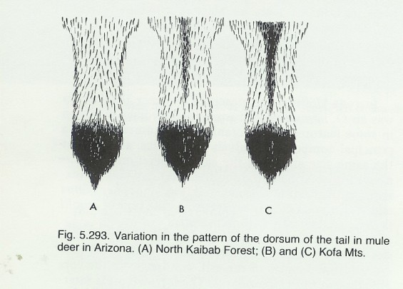 mule deer tail variation hoffmeister