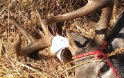 2013 Coues bucks