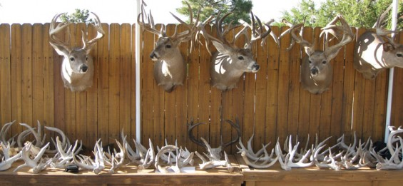 giant-coues-bucks