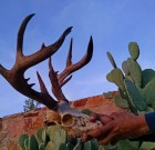 Guess the Score of this White Mountain Apache Buck!