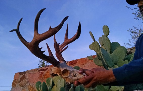 Giant White Mountain Apache Coues buck